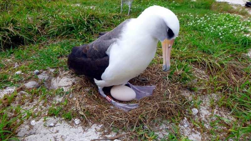 Темноспинный альбатрос