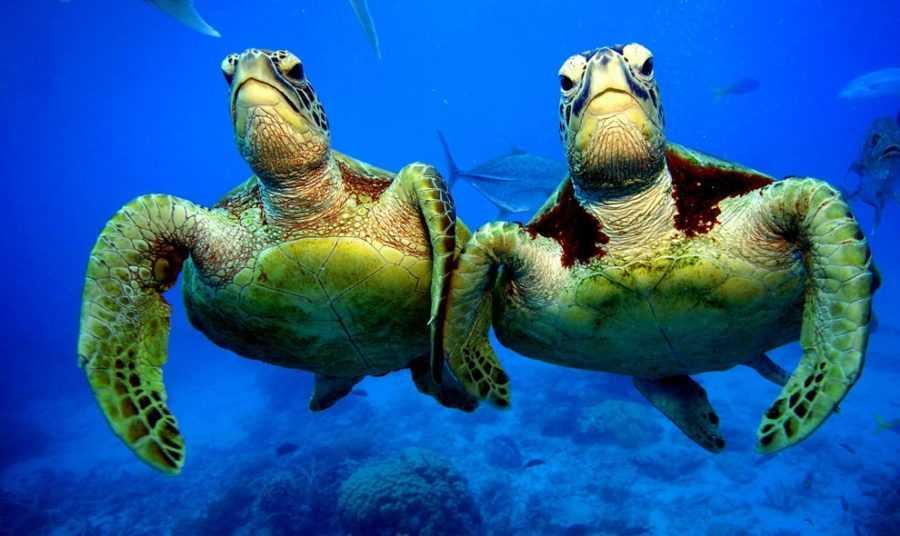 Зелёные черепахи